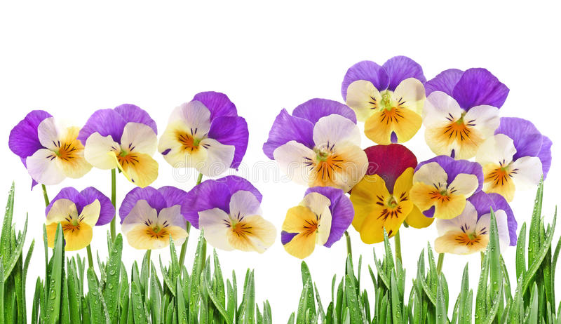 Pansy flowers stock photo