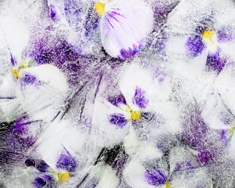 Pansy Flowers im Eis lizenzfreie stockbilder