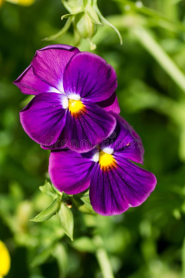 2 pansy flowers lilac in the garden royalty free stock images