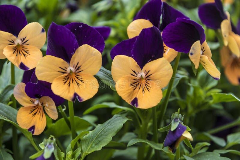 Pansy Flowers livlig apelsin och purpurfärgade vårfärger Makrobilder av blommaframsidor Pansies i tr?dg?rden arkivbilder