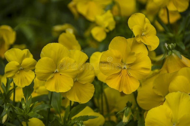 Pansy Flowers livliga gula vårfärger Makrobilder av blommaframsidor Pansies i trädgården arkivfoto