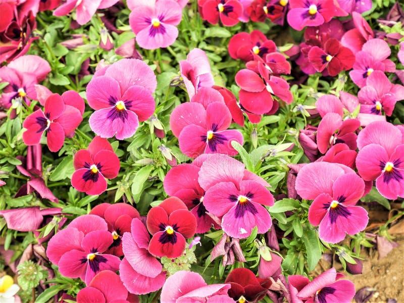 Pansy Flowers ou pansies vermelhos que florescem no jardim imagens de stock