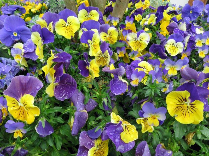 Pansy Flowers p?rpura y amarilla en abril fotografía de archivo