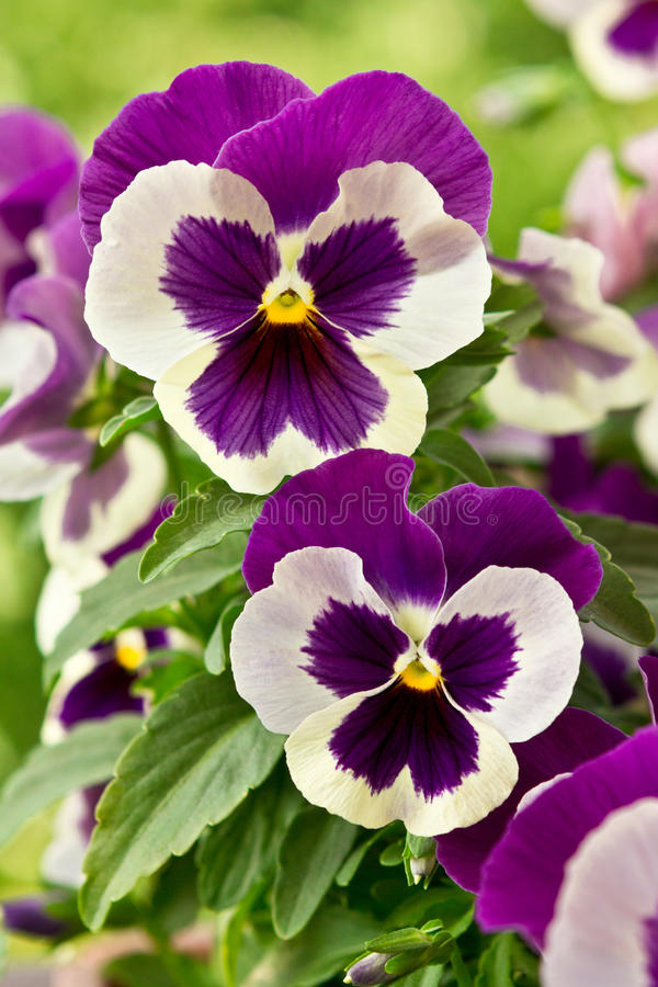 Pansy flowers in purple and white stock photo image of easter download pansy flowers in purple and white stock photo image of easter variety mightylinksfo