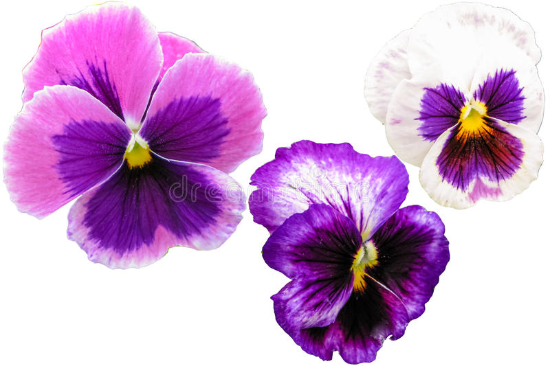 Pansy flowers set isolated on white background. Viola tricolor red blue yellow macro closeup stock photography