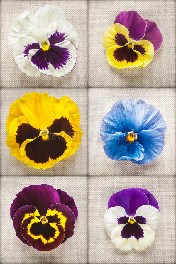 Pansy flowers stock image