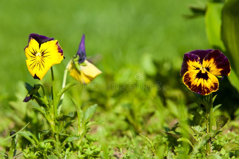 Pansy Flowers una viola cultivada popular con las flores en c rica fotografía de archivo libre de regalías