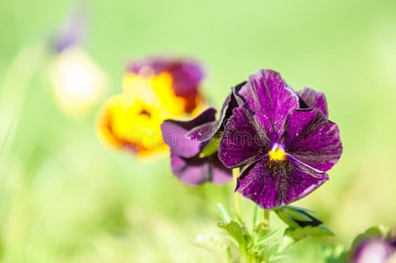 Pansy Flowers una viola cultivada popular con las flores en c rica imagenes de archivo