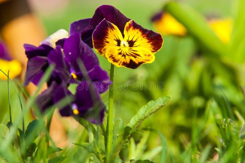 Pansy Flowers una viola cultivada popular con las flores en c rica fotos de archivo libres de regalías