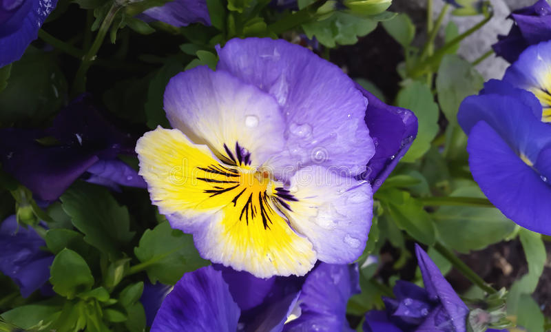 Pansy flowers Viola tricolor in the spring time stock photo