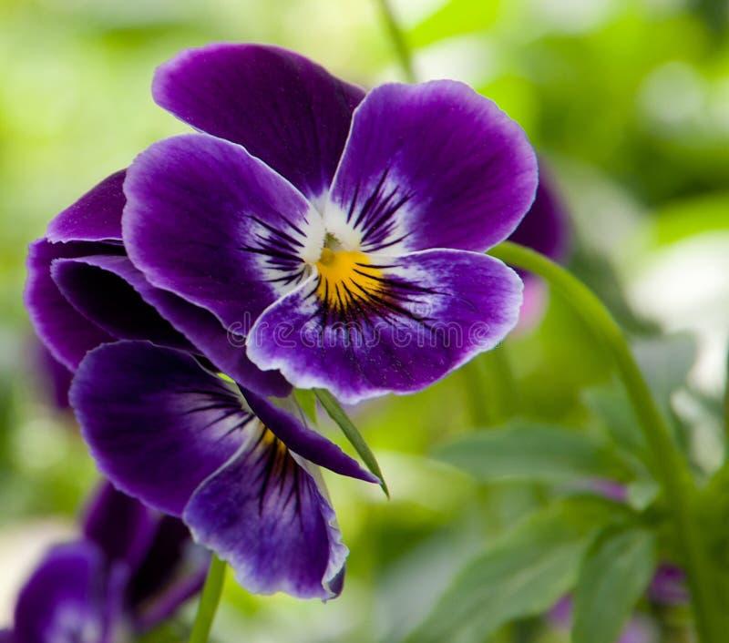 Pansy kwiat obraz stock