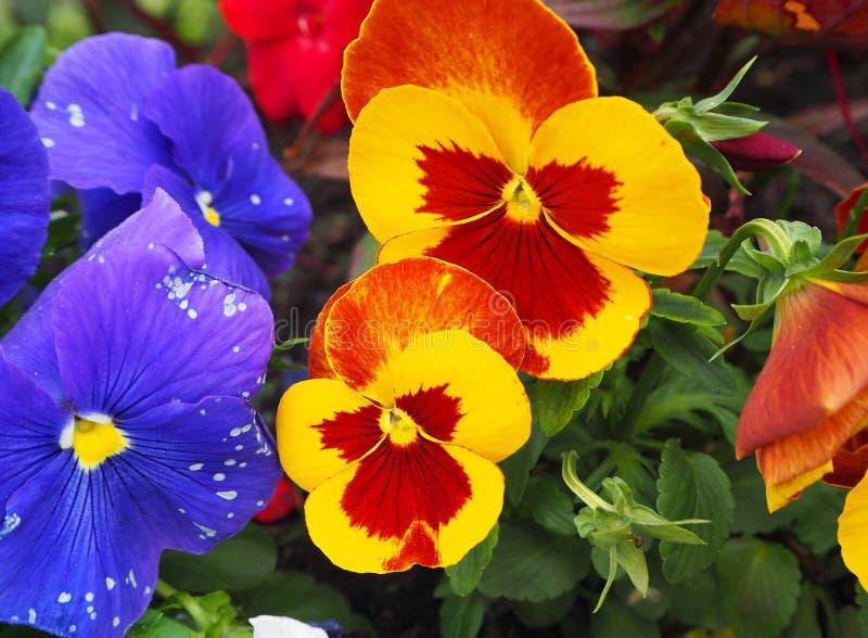 Pansy kwiatu kolor żółty, pomarańcze, czerwień i purpury z zielonymi liśćmi, obraz stock