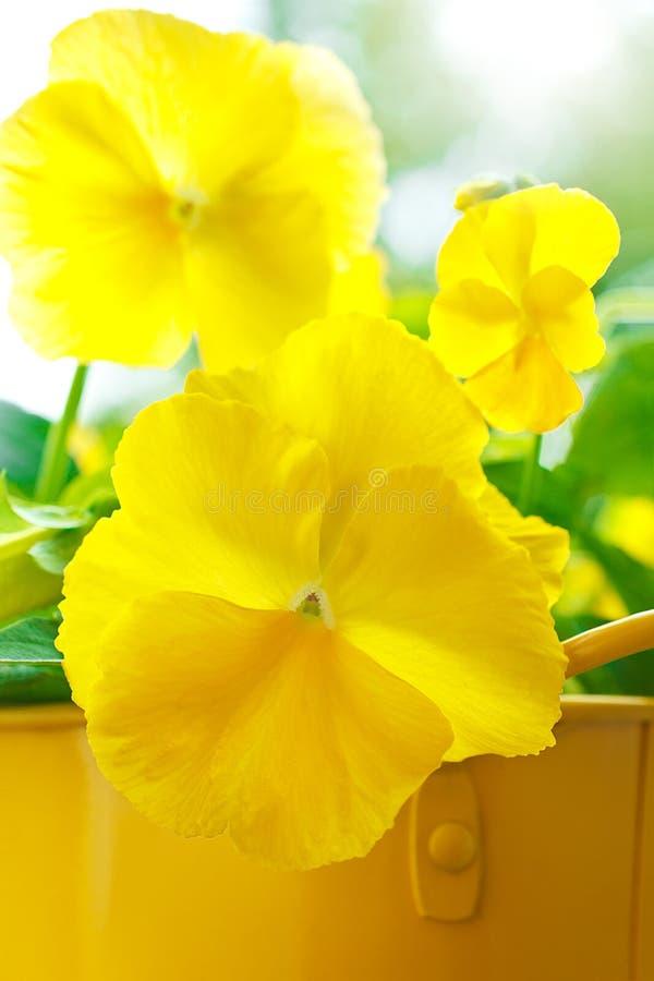 Pansy kwitnie altówki wittrockiana kolor żółtego zdjęcia royalty free