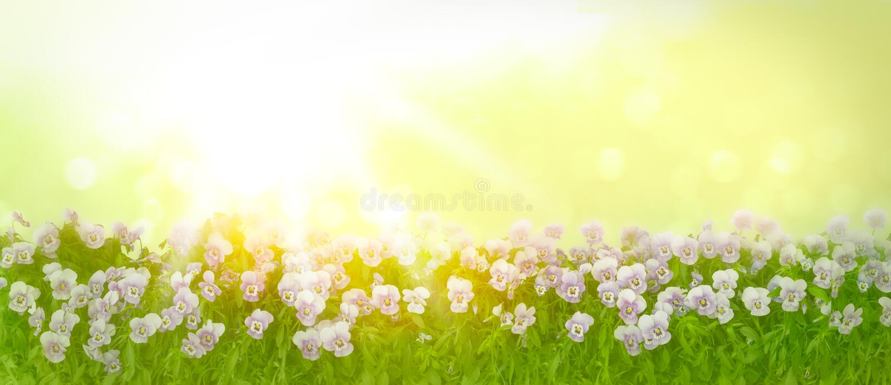 Pansy kwitnie słońce panoramy copyspace fotografia royalty free