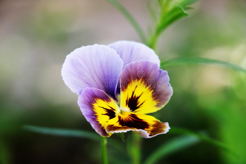 Pansy Multicolored Pansies Background Purple imagens de stock royalty free