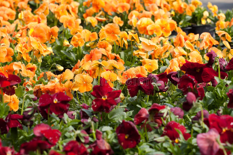 Pansy nursery pots. Pansies flower pots in a plant nursery royalty free stock photography