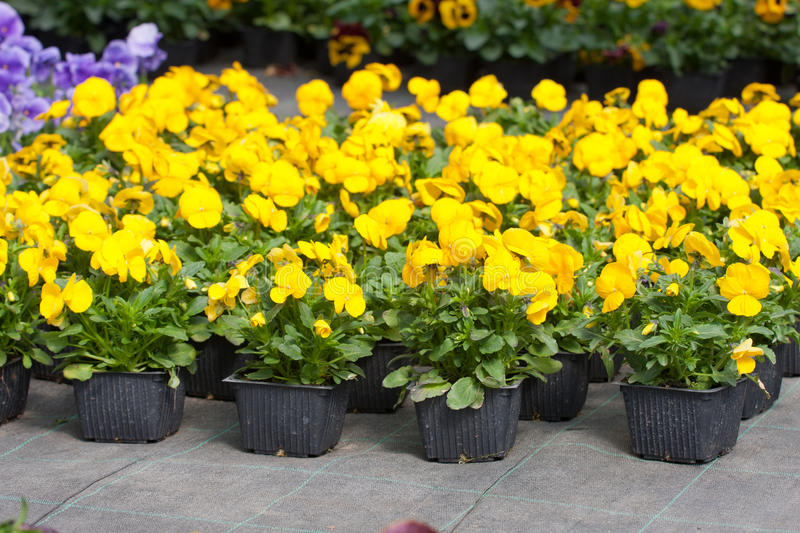 Download Pansy nursery pots stock image. Image of pansy, bloom - 31210963