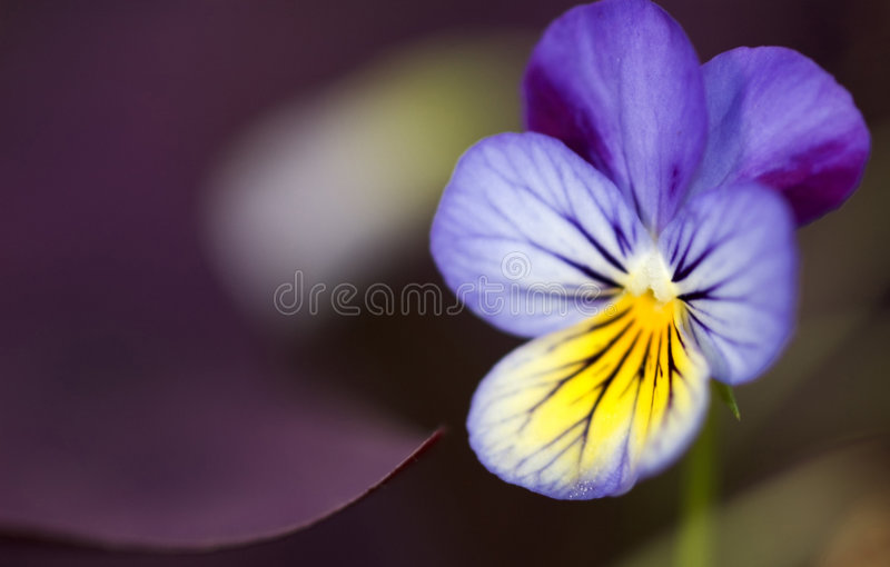 Pansy with Oxalis royalty free stock photos