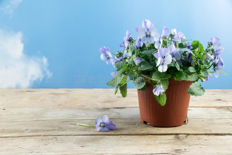 Pansy plant viola spring flower with purple white blossoms in royalty free stock photography