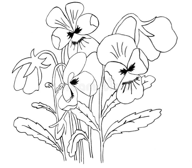 Download Pansy sketch stock illustration. Illustration of drawing - 16428507