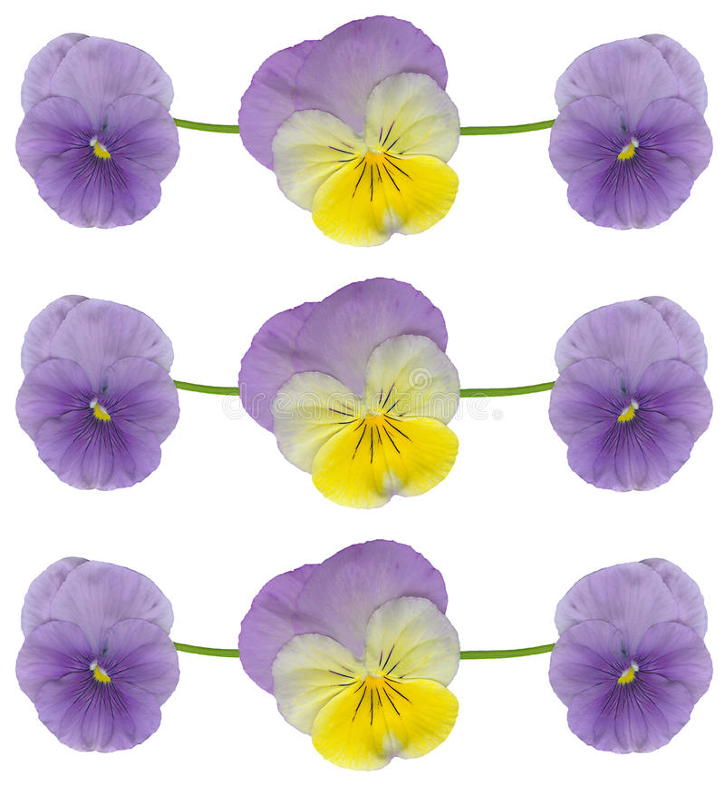 pansy viola λουλουδιών στοκ εικόνα