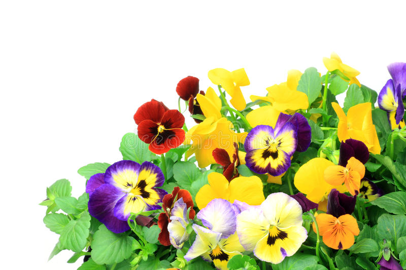 Pansy and viola. I took many pansies and violas in a white background royalty free stock images