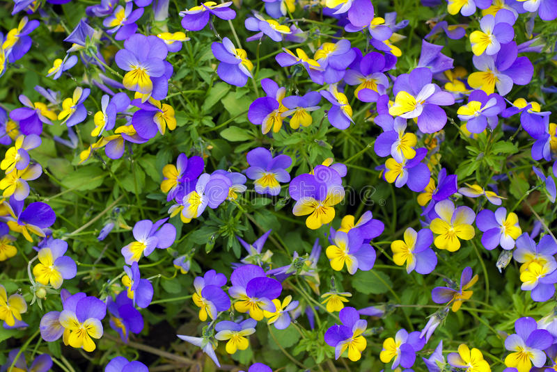Pansy, Viola royalty free stock photography