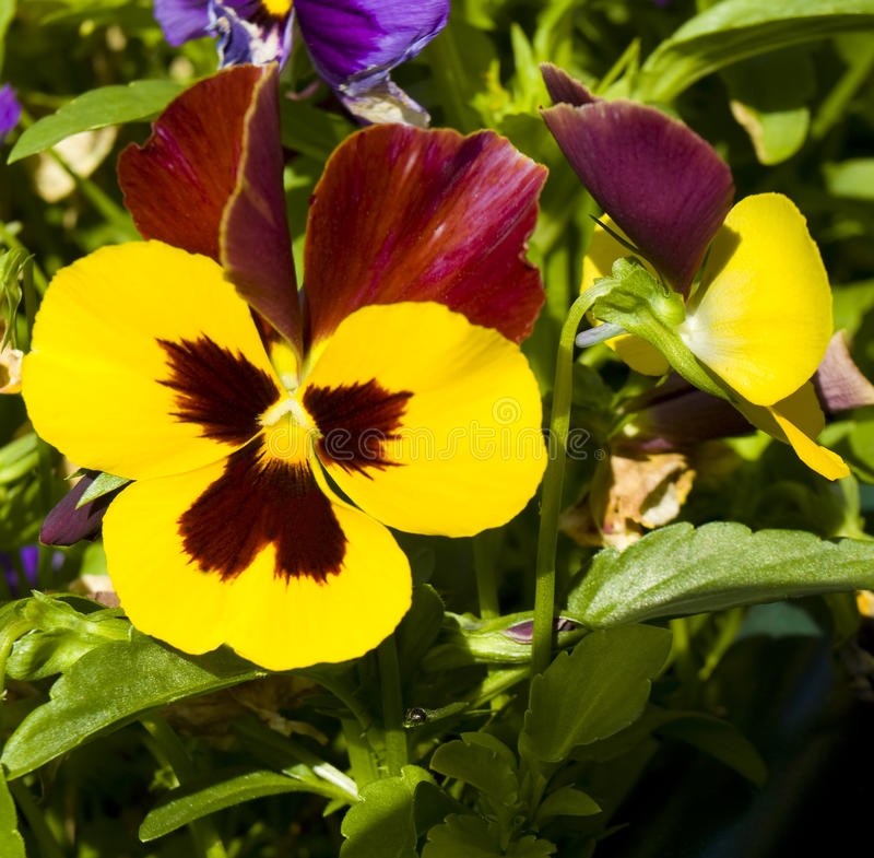 Pansy (Viola tricolor) stock photography