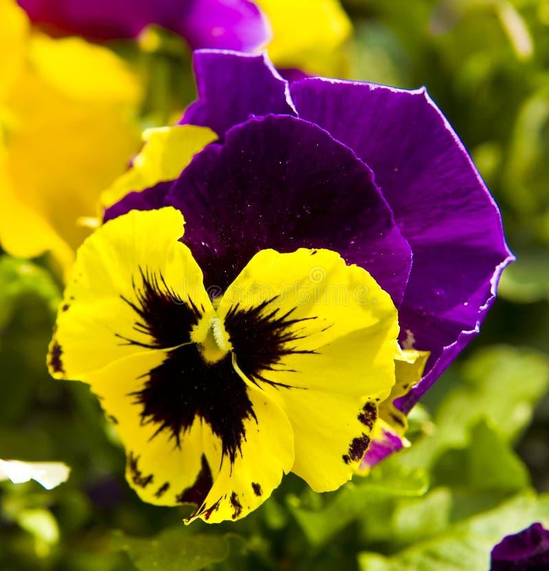 Pansy (viola tricolour) stock photos