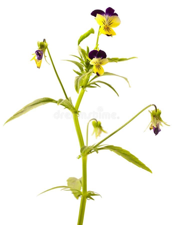 Pansy Violet con le foglie verdi immagine stock