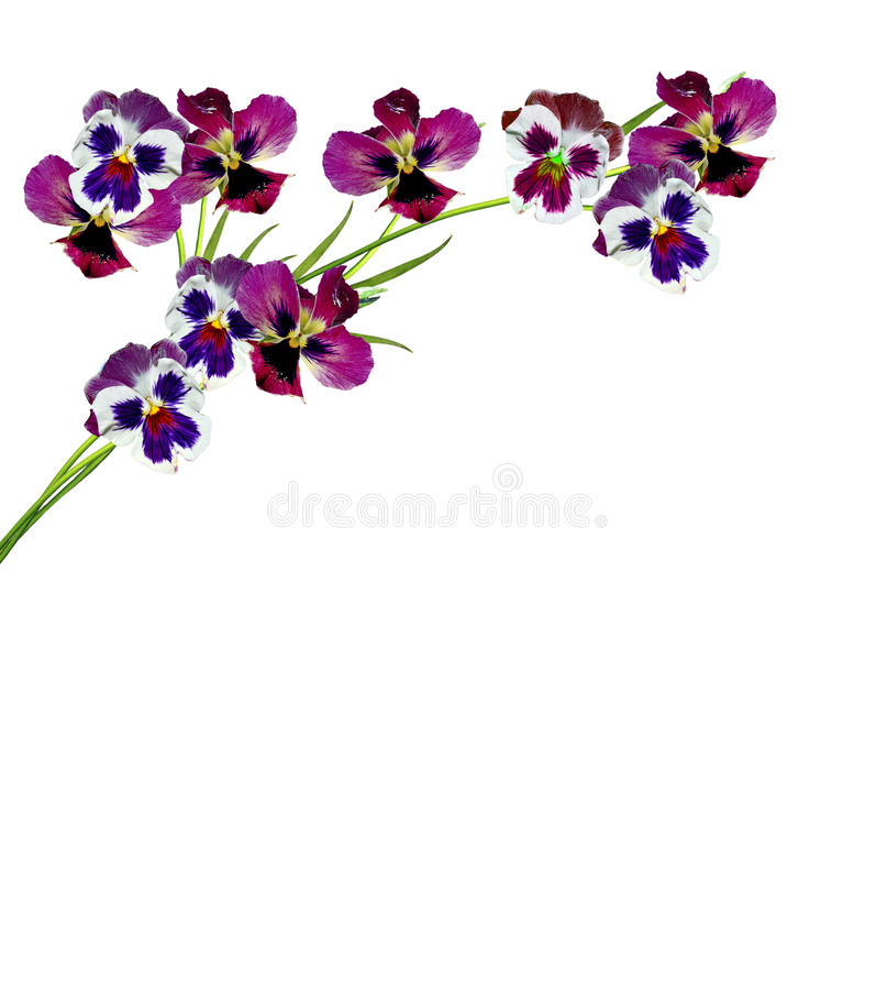 Pansy Violet royalty free stock images