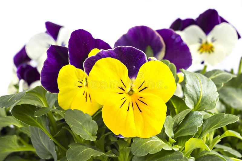 Pansy. Yellow violet and white blue pansy seedlings isolated on white royalty free stock photo