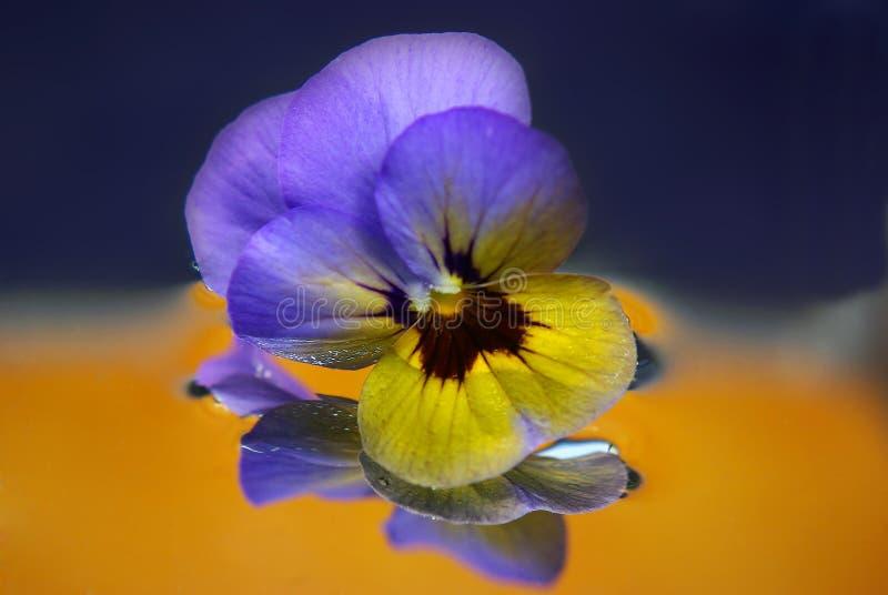 Pansyblumenauszug stockbild