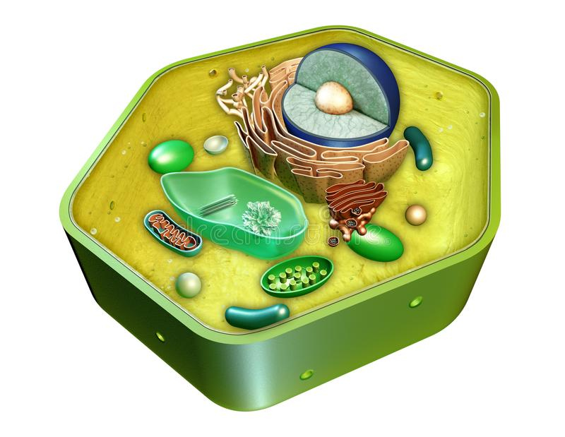 Plant cell structure. Internal structure of a plant cell. Digital illustration. Clipping path included royalty free illustration