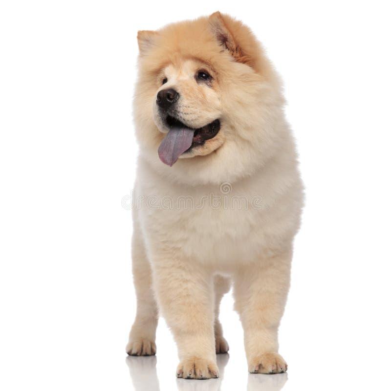Pantalones adorables y miradas del perro chino de perro chino a echar a un lado mientras que se coloca foto de archivo