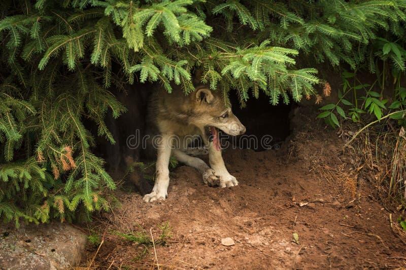 Pantaloni di lupus di Grey Wolf Pup Canis sotto il pino fotografia stock
