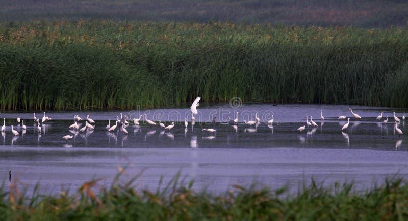 Pantanais e rebanhos de Egrets nevado imagens de stock