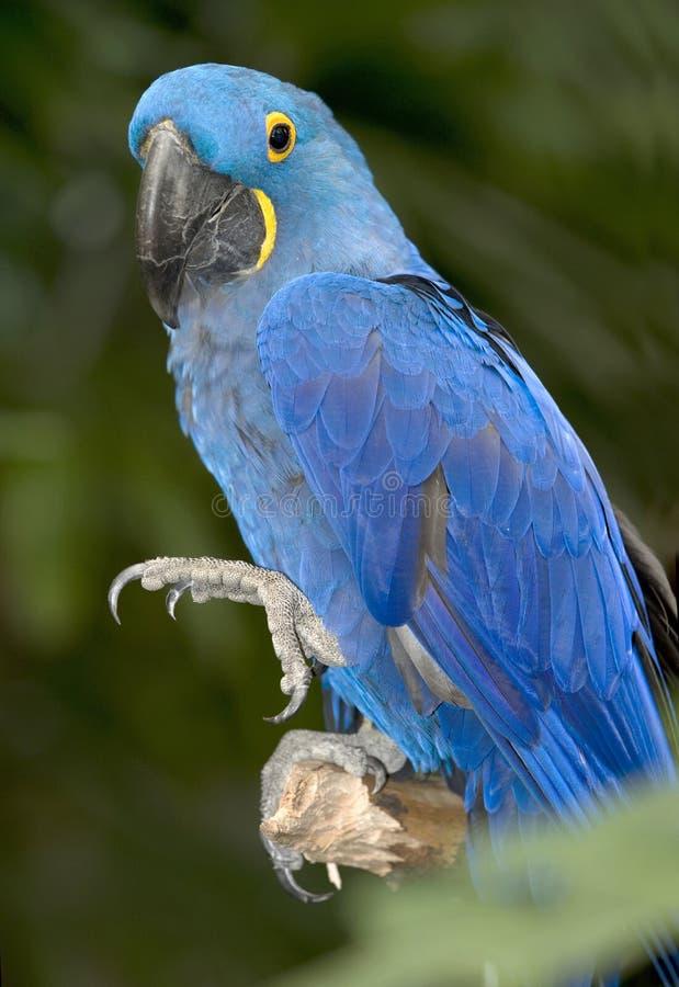 Pantanal bleu 3 du Brésil de perroquet d'oiseau de macaw de jacinthe images stock