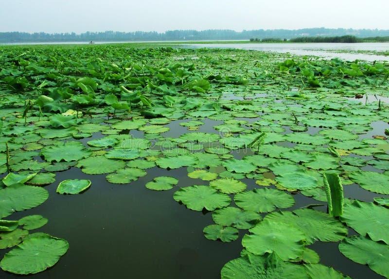 Pantanal de Huaiyang, lago redondo da cidade, raiz dos lótus, ecologia natural fotografia de stock royalty free
