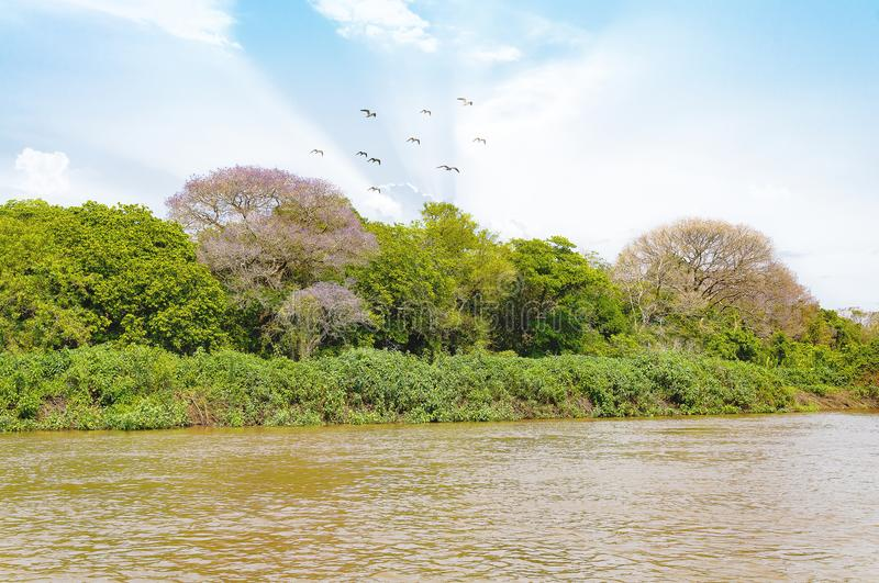 Pantanal landscape with the rive, birds and green vegetation. Pantanal landscape with the river and green vegetation on the river banks. Beautiful blue sky royalty free stock photo