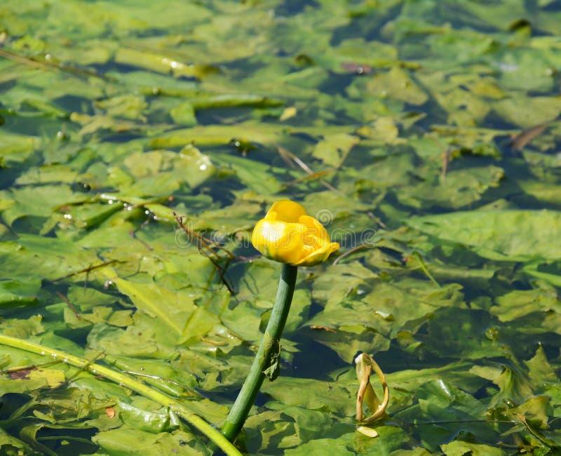 Pantano con el lirio de agua del flor foto de archivo