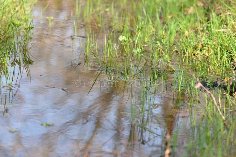 Pantano con la hierba verde fotografía de archivo