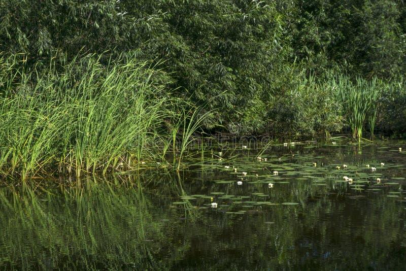 Pantano con los lirios de agua imágenes de archivo libres de regalías