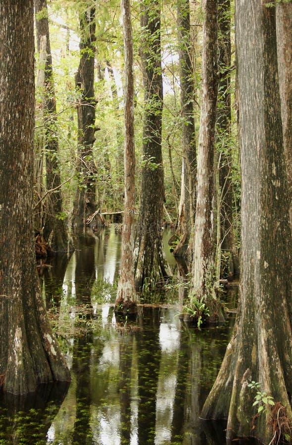 Pantano Cypress imagen de archivo libre de regalías