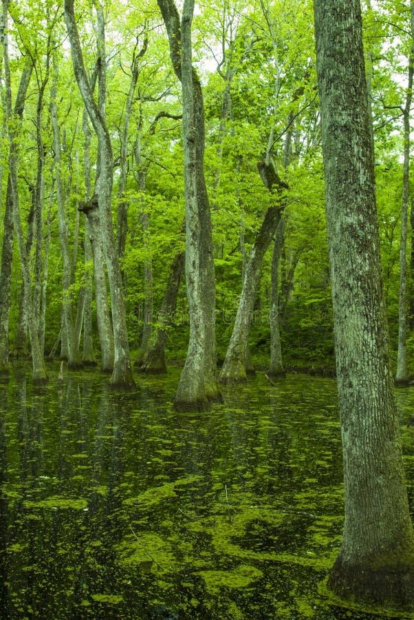 Pantano de Cypress, rastro de Natchez, ms foto de archivo