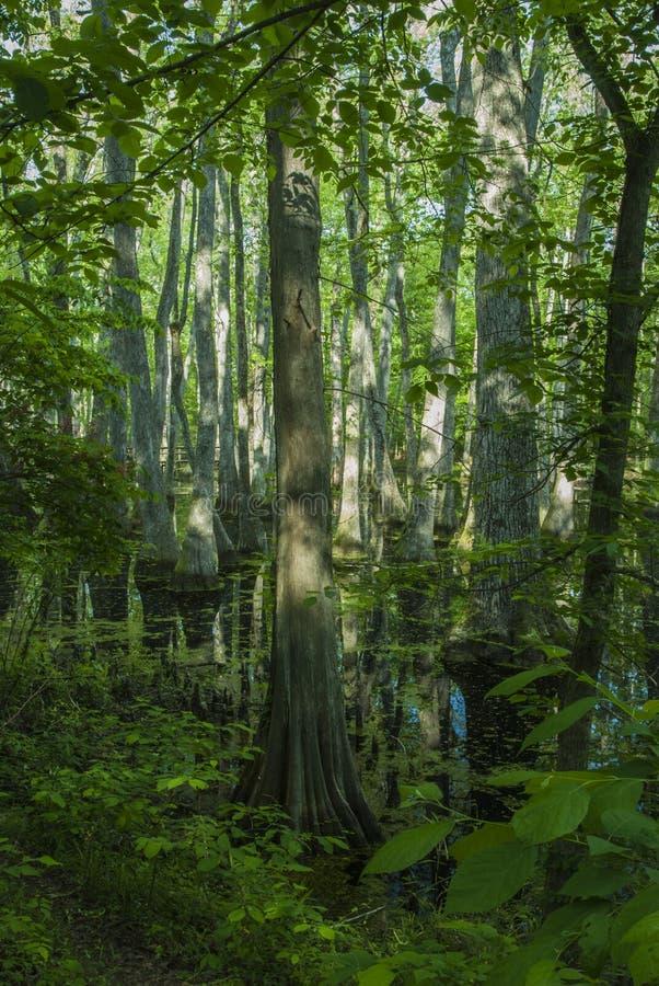Pantano de Cypress, rastro de Natchez, ms fotos de archivo libres de regalías