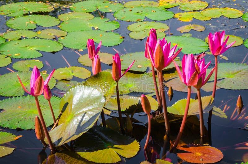Pantano de Lotus foto de archivo libre de regalías