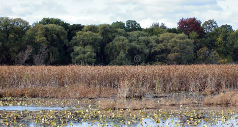 Pantano en otoño con las cañas y los sauces foto de archivo