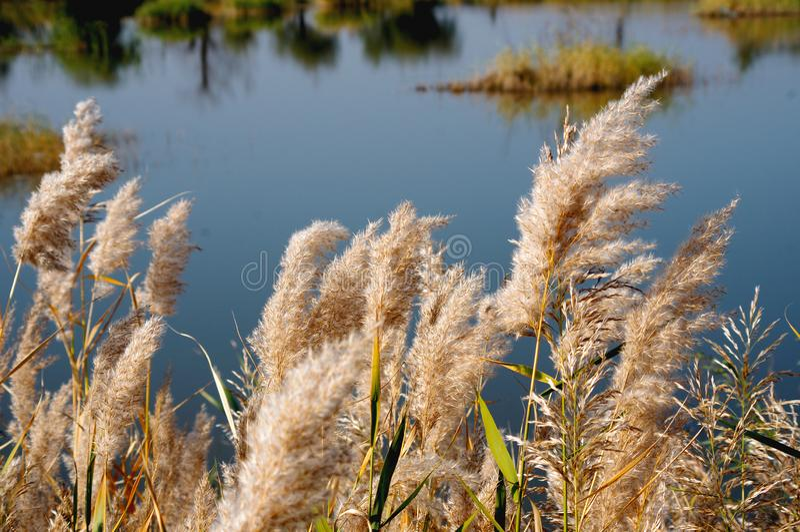Pantanos de Reed a lo largo del r?o Amarillo fotografía de archivo libre de regalías