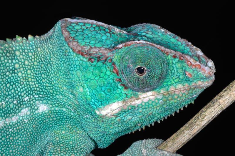 Download Panter Chameleon Portrait stock photo. Image of wildlife - 29185654